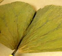frunze-de-lotus (3)